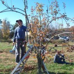 Pruning a Kelly Pear