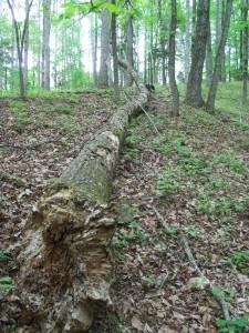 ED fallen timber
