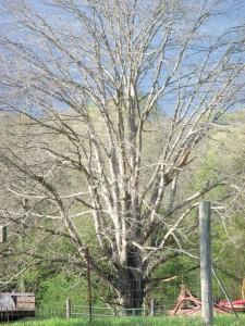 White Oak 003