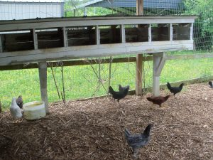Chickens SOR 022