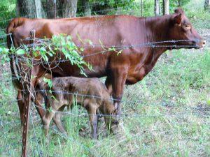 New calf 008
