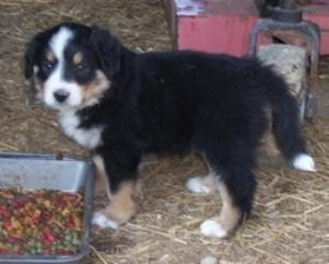 The Puppies Are Here Were So Excited Our English Shepherd